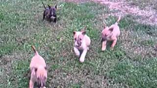"Dancing With The Bulls Miniature Bullterrier ""o"" Litter 2010. October 17"
