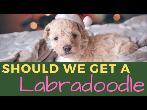 Everything a Labradoodle Breeder Might Not Tell You