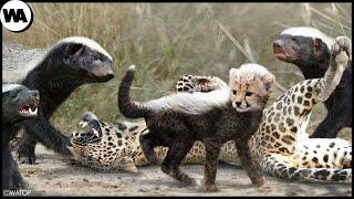 Вот Почему Хищники Не Трогают Детенышей Гепарда