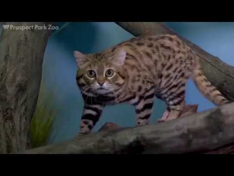 Black-Footed Cats on Exhibit   Prospect Park Zoo