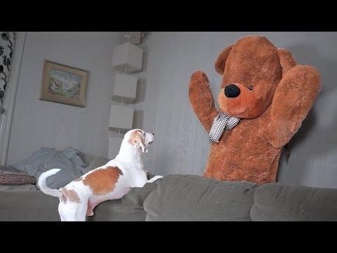 Funny Dog vs Teddy Bear Prank: Funny Dogs Maymo, Penny, & Potpie