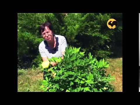 Пионы в саду. Ландшафтные хитрости 44