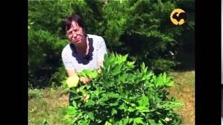 Пионы в саду. Ландшафтные хитрости 44(Герои нашей программы -- не профессиональные садовники, это те любители, фанаты, энтузиасты, которые занимаю..., 2015-07-21T11:09:03.000Z)