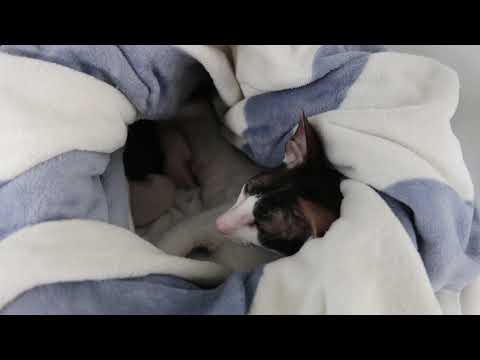 Neugeborene Katzenbabys! Neugeburt Cornish Rex!