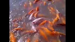 video ikan berenang di kolam pemancingan mang engking, memberi makan ikan naufal fakhri raditya