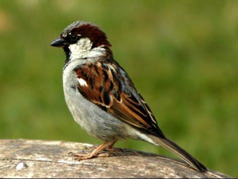 Call of a House Sparrow
