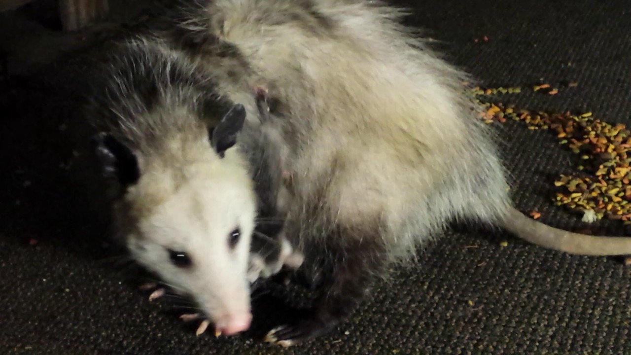 baby possum escapes pouch then finds it again youtube