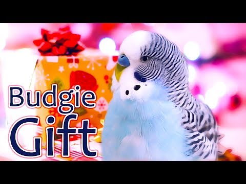 Does a Budgie make a best Christmas present?