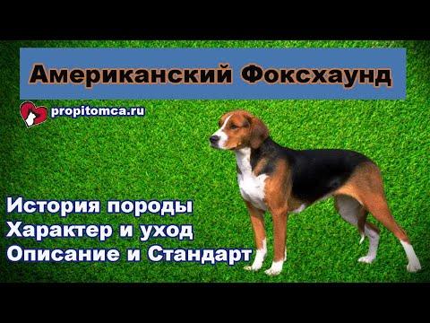Американский #фоксхаунд - описание гончей породы собак