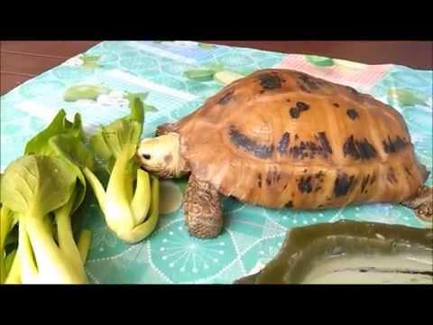 Liow video: 怀念爱龟短片 Elongated tortoise memorial