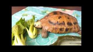 怀念爱龟短片 My elongated tortoise memorial video