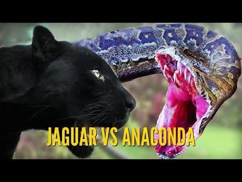 Ягуар против анаконды / Jaguar Against Anaconda / Змея / Удав / Пантера