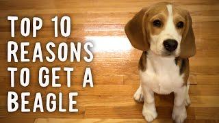 10 razones principales para conseguir un Beagle