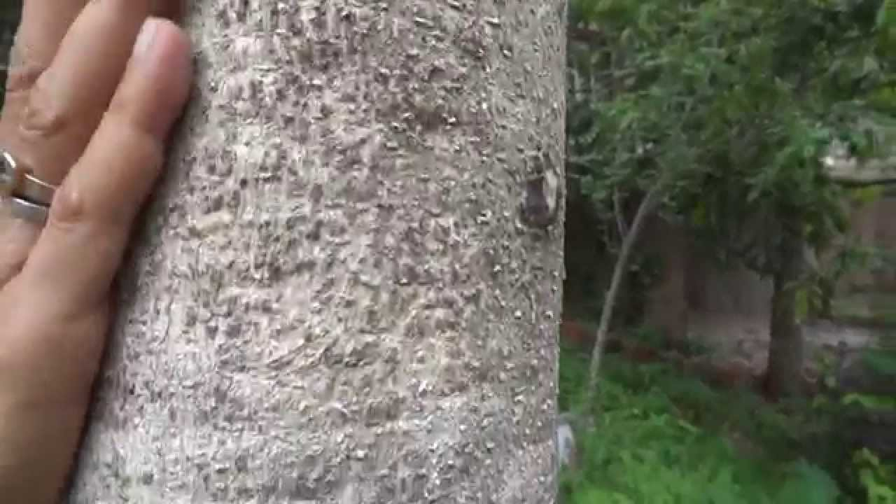 Gmelina Arborea An Important Herbal And Timber Tree Youtube