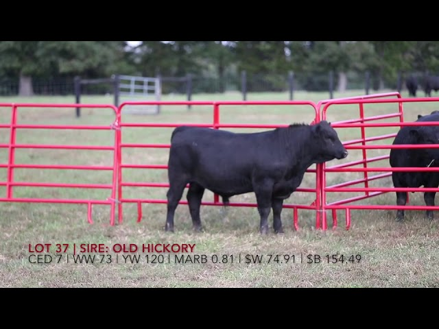 Edgewood Angus Lot 37