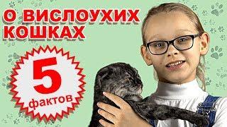 5 фактов о вислоухих кошках. WiKi Animals #1