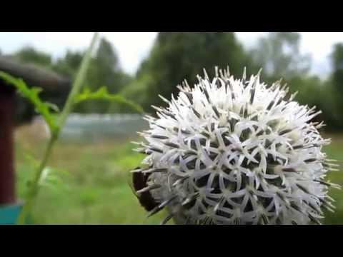 Мордовник (трава) – полезные свойства и применение, семена