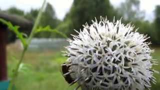видео Пчёлы на цветках донника жёлтого