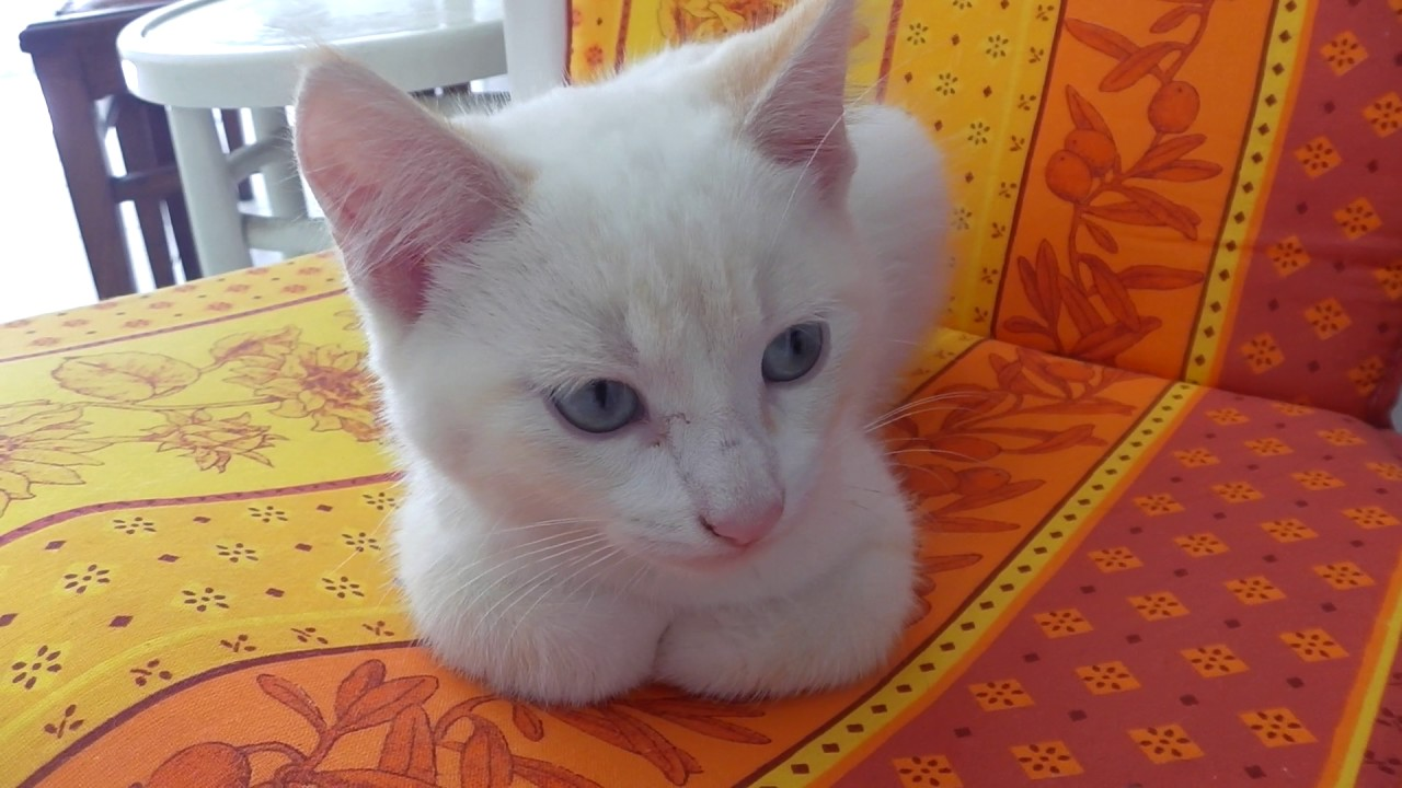 FLOCON , le petit chat blanc trop Mignon ! , YouTube