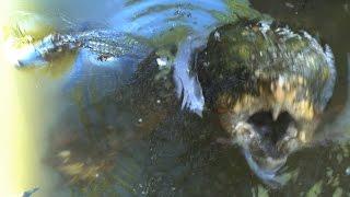 MONSTER TURTLE ATTACKS BIG ALLIGATOR - The Alligator Snapping Turtle