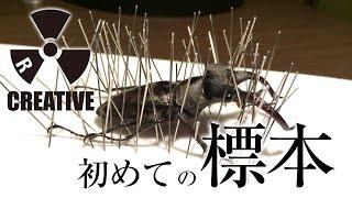 ミヤマクワガタで初めての標本!【02前編】簡単にできる昆虫標本の作り方と失敗しないための昆虫針