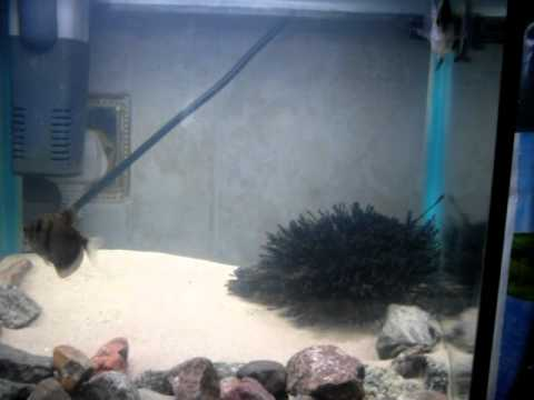 black widow tetra spawning.   YouTube