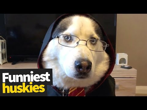 Huskies are my Spirit Animal | Ultimate Husky Compilation 2019