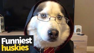 Huskies are my Spirit Animal | Ultimate Husky Compilation 2019