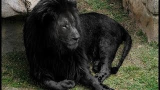 BLACK LIONS MYTH & other Real Lion Hybrid Facts thumbnail