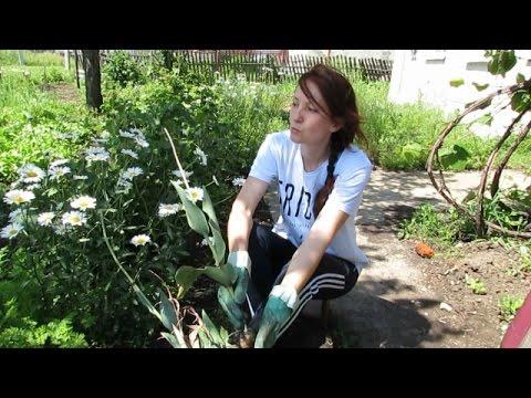 Спорный вопрос... Нужно ли выкапывать луковицы тюльпанов каждый год.