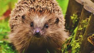 Hedgehog   Hedgehogs are commonly described as an animal with spikes