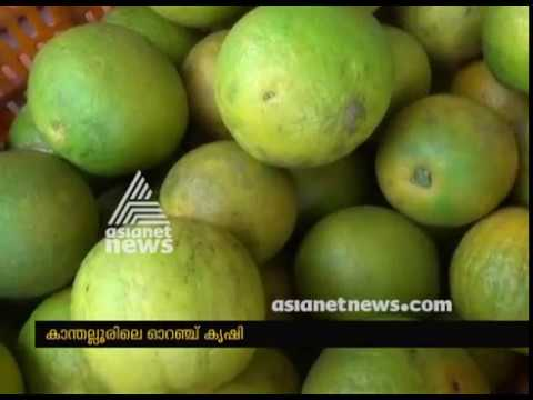 Kanthalloor's orange farms getting ready for harvest
