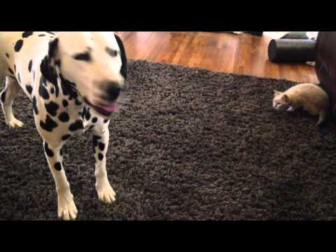 Determined kitten tries to get Dalmatian's attention