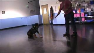 Rottweiler Having Fun At Tails-a-wagging