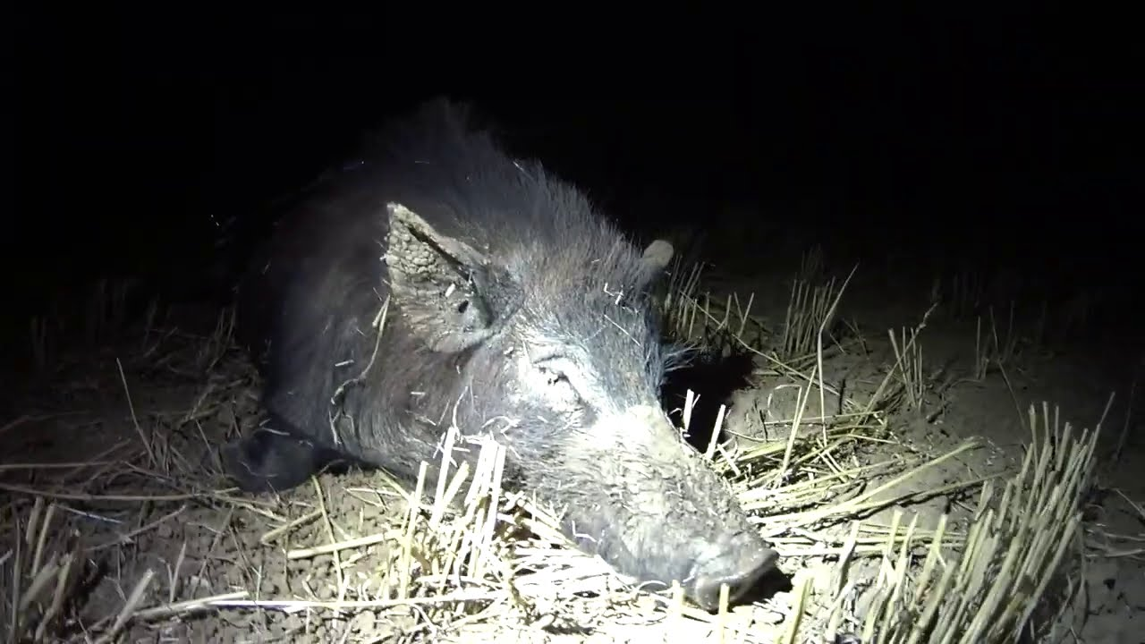 Hunting pigs / hogs at night on the stubble in Australia with the Olight Turbo.