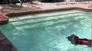 Welsh Corgi Ein Swimming Lesson
