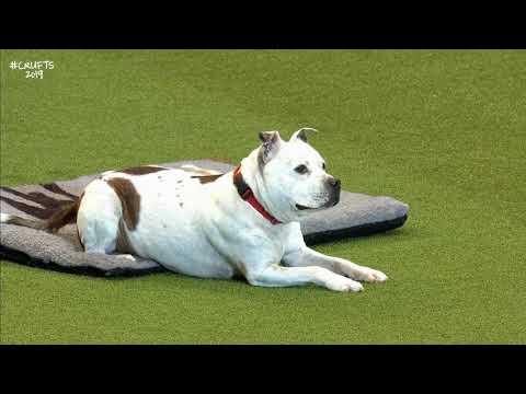 East Anglian Staffordshire Bull Terrier Team