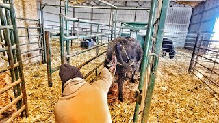 Trouble In The Barn- Pulling Calf
