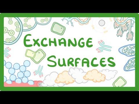 GCSE Biology - Exchange Surfaces  #9
