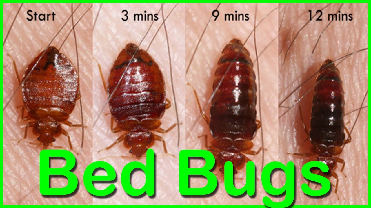 Bed Bugs How To Kill Bed Bugs Using Baking Soda Bed Bugs How To