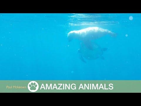 Huge Sea Lion Attacks Turtle