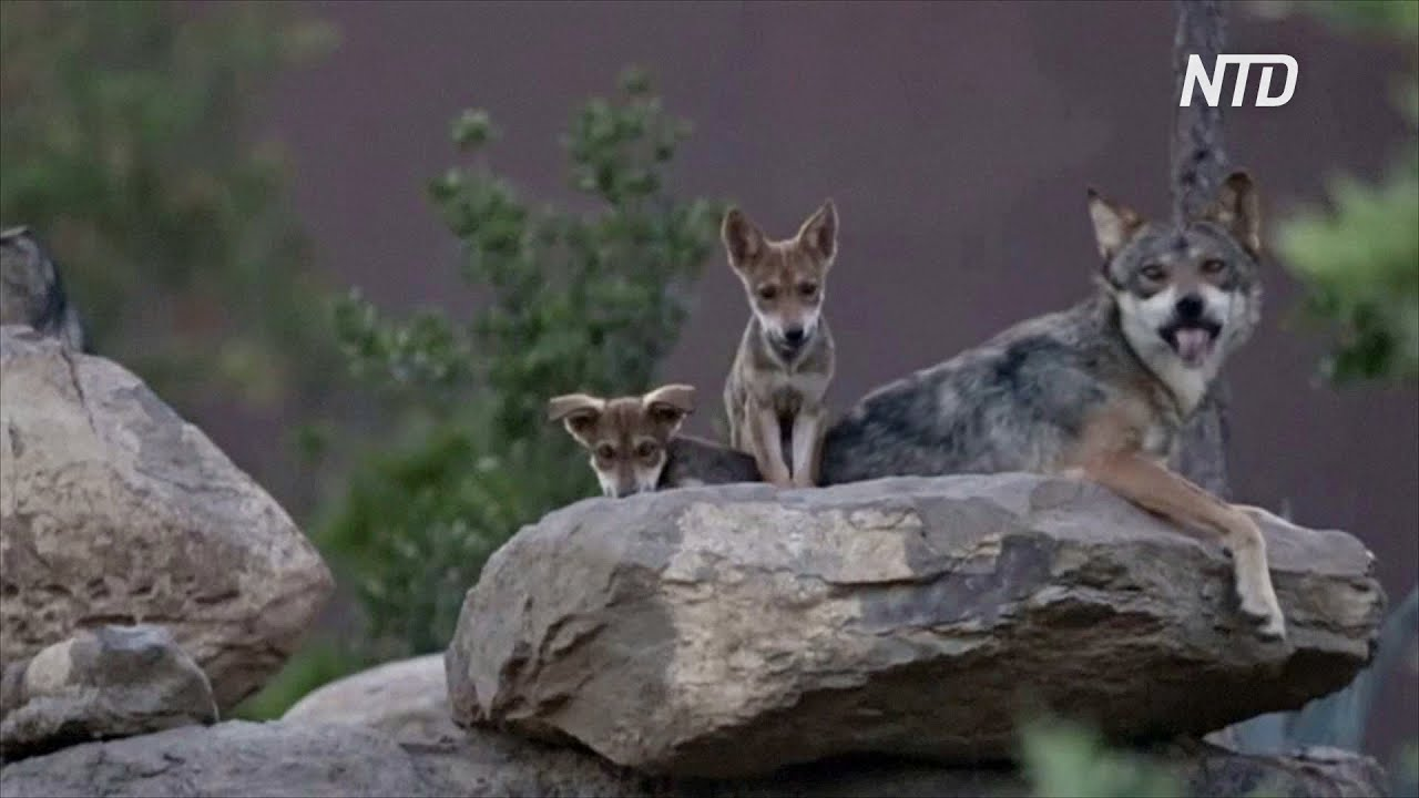 Волчица и волчонок - Волчица и волчонок часть 5