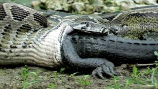 Python eats alligator while it is still alive
