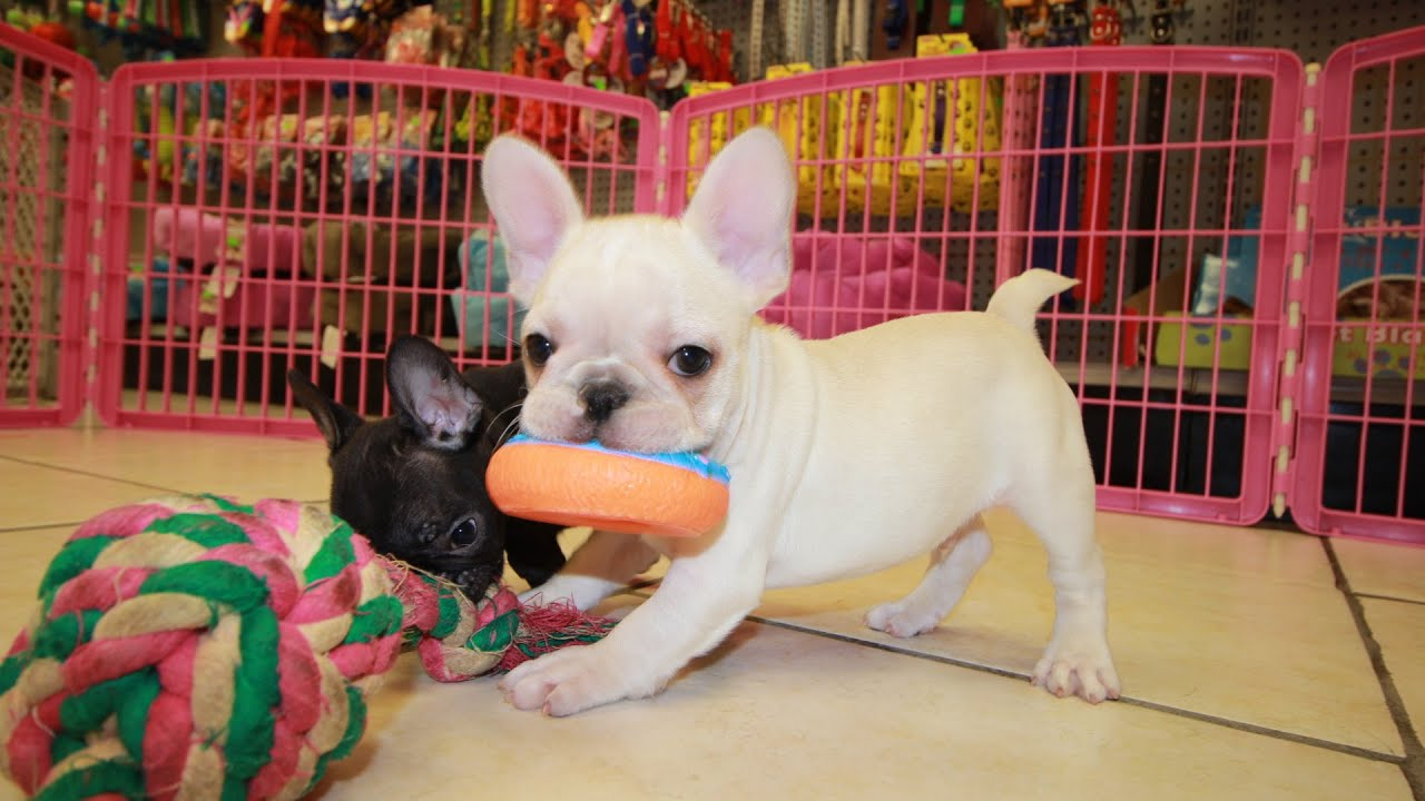 French Bulldog Frenchie Puppies Dogs For Sale In Atlanta