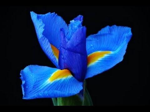 Delphine Flower