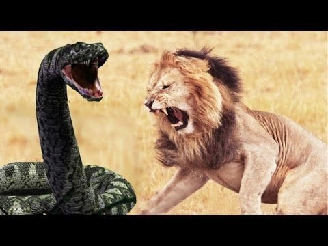 Lion vs Anaconda Who Would Win| Fight to Death  HD | Lion vs giant python |