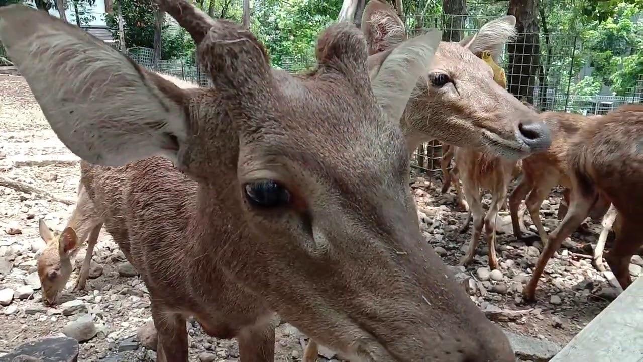 Asiknya...Melihat Rusa dari Dekat | Fun...Seeing the deer up close