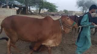 Cattle Sahiwal