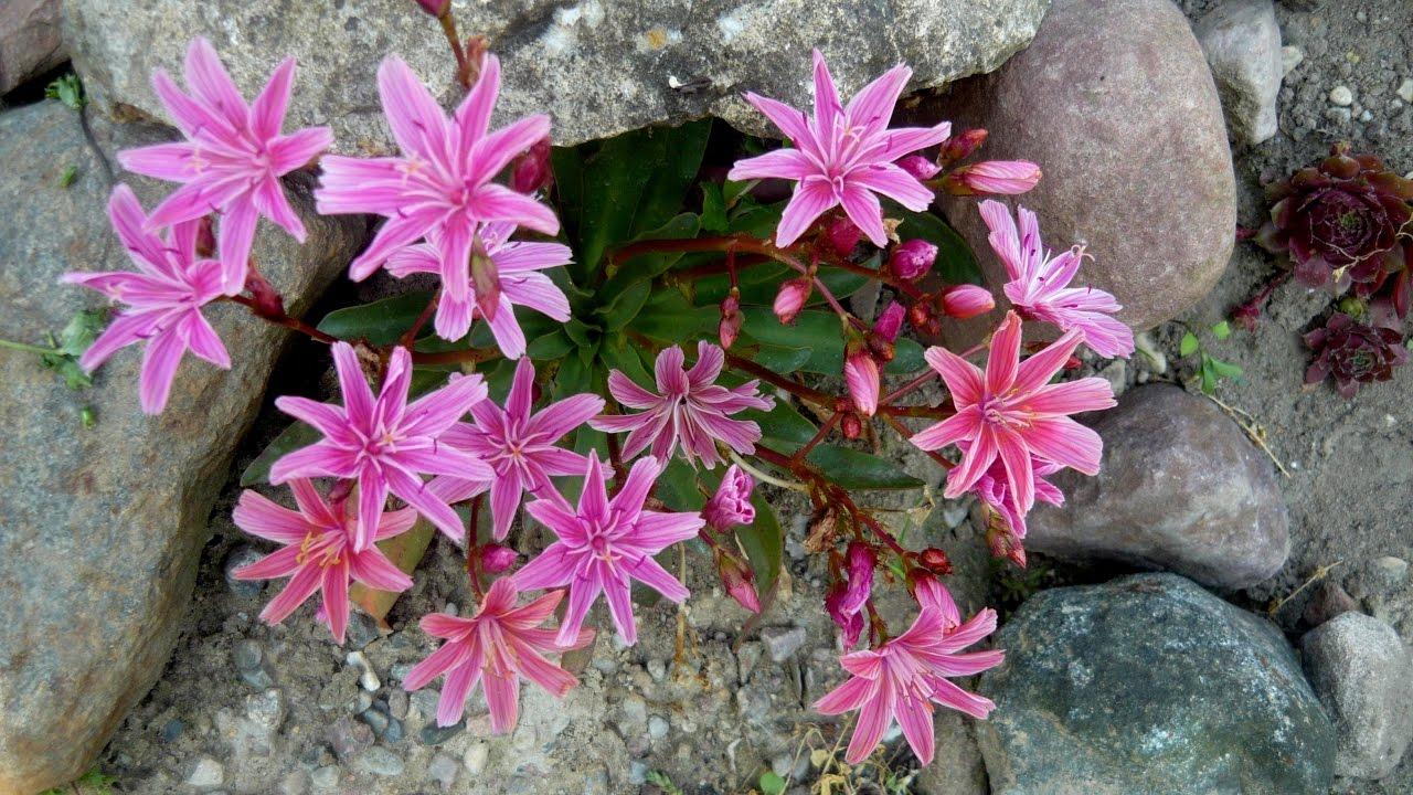 Rosliny Na Skalniak Wybrane Gatunki Rock Garden Plants Youtube