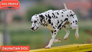 All about the Dalmatian Dog Breed  History, health,  care, lifespan & training
